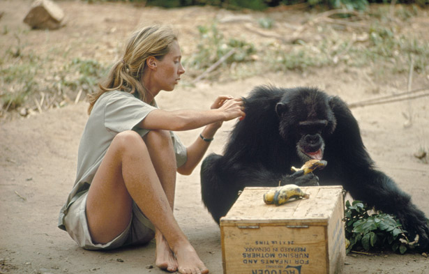 Jane Goodall's work made it especially easy for us to visualise chimpanzees as having distinct personalities.  Image: Hugo Van Lawick via  National Geographic