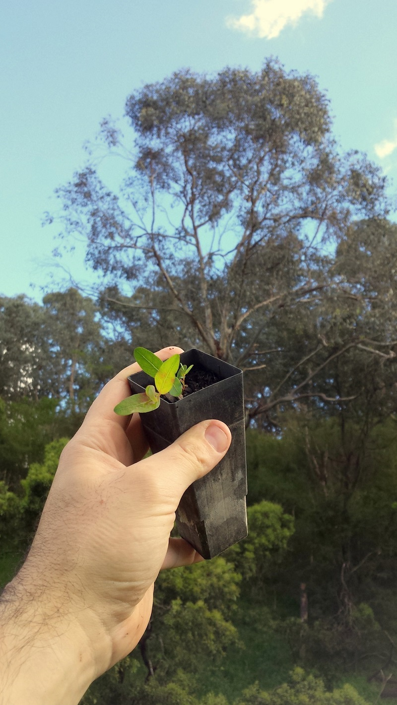 Marvelling that the swamp gum (Eucalyptuis ovata) sapling would one day grow into the towering giant in the background. Image: Leonardo Guida