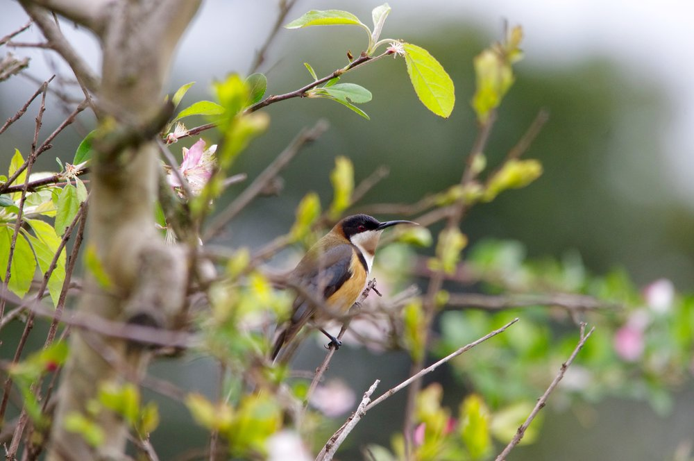 The eastern spinebill can sometimes be spotted in Melbourne backyards.  Image: Cathy Cavallo