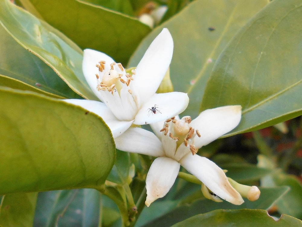 A striking orange blossom featuring a six-legged friend.  Image: Bruna Costa