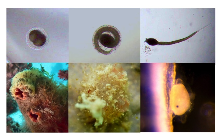 The life cycle of the sea squirt  Pyura dalbyi  (image order clockwise: fertilised egg, hatching larva, free-swimming larva, newly settled larva, two-month old adult, and fully reproductive adult).  Images: Evatt Chirgwin