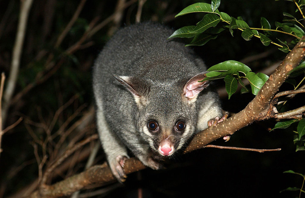 Brushtail possums are one of the most common mammalian pollinators encountered around Melbourne. Image: Wikimedia Commons
