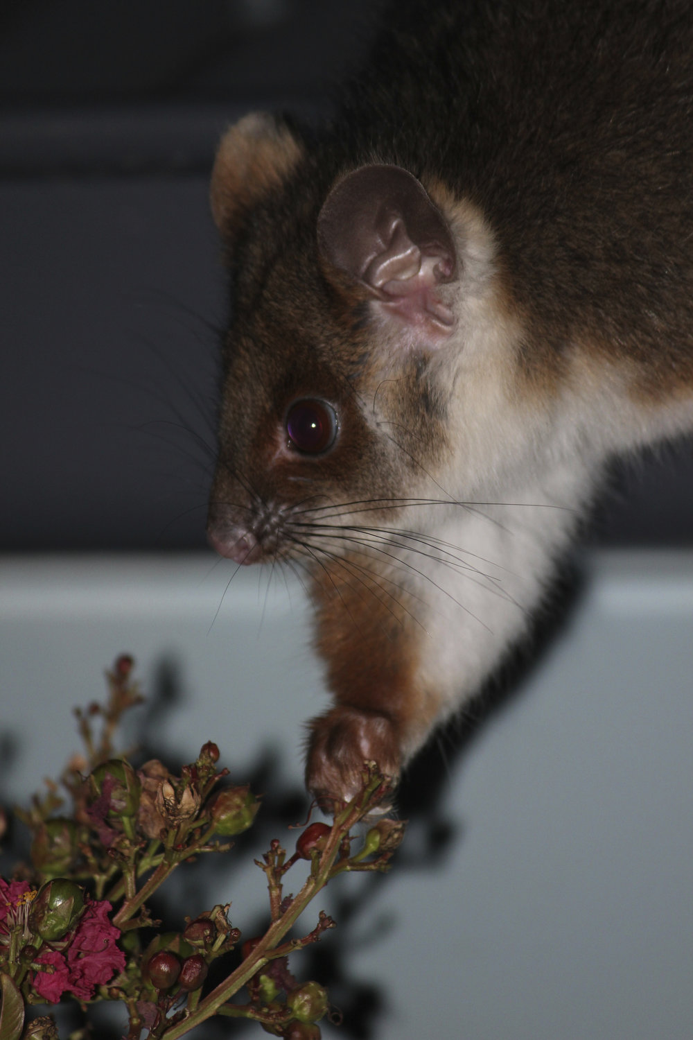 Ringtail possums are another extremely common possum species of Melbourne. Image: Emma Walsh