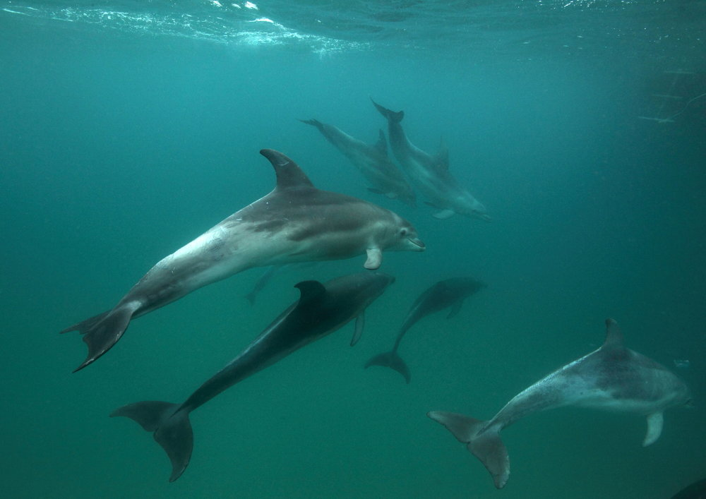 Many individual Burrunan dolphins can be recognised by the Polperro crew.  Image: Troy Muir