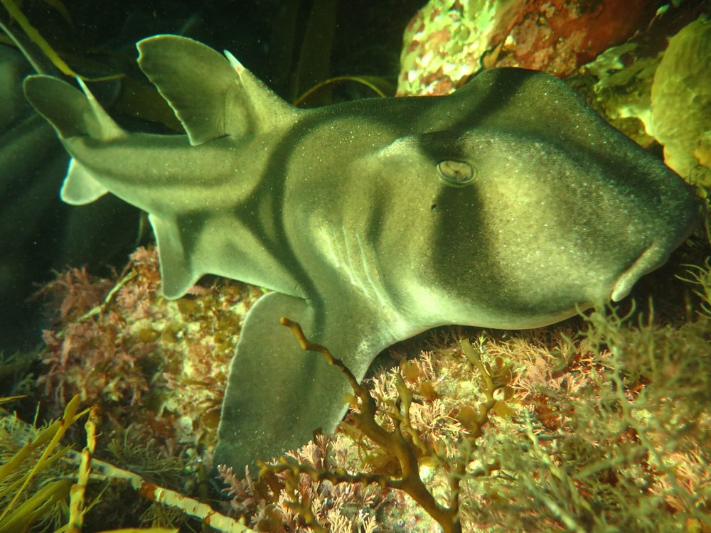 The peaceful Port Jackson Shark tolerates a close encounter. Image: Cathy Cavallo