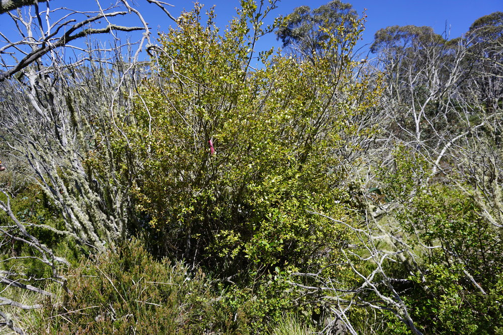 Mature, foliating willow at high elevation, near Mount Hotham, Victoria.  Image: Emily De Stigter