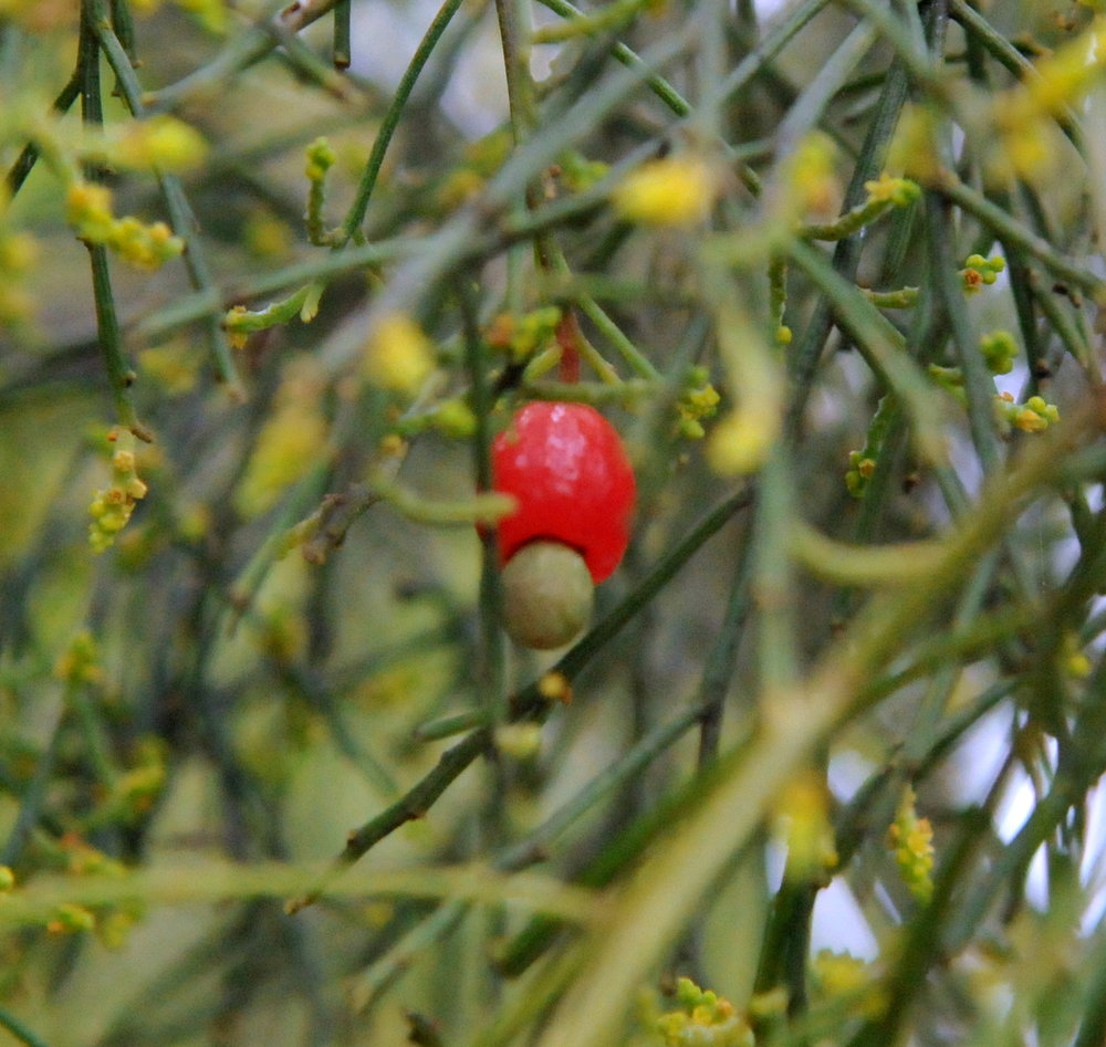 Native cherry fruit.jpg