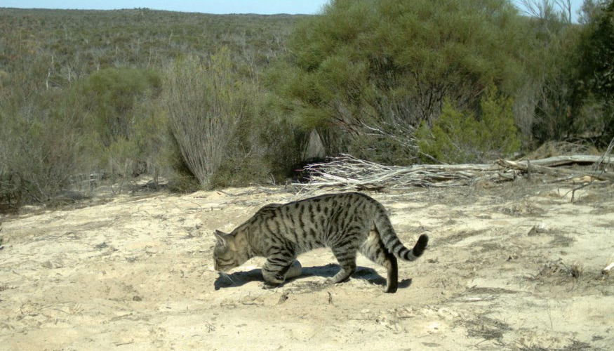 Feral cats can be found across the continent of Australia, including the Big Desert, Victoria where this photo was taken.  Image: Billy Geary