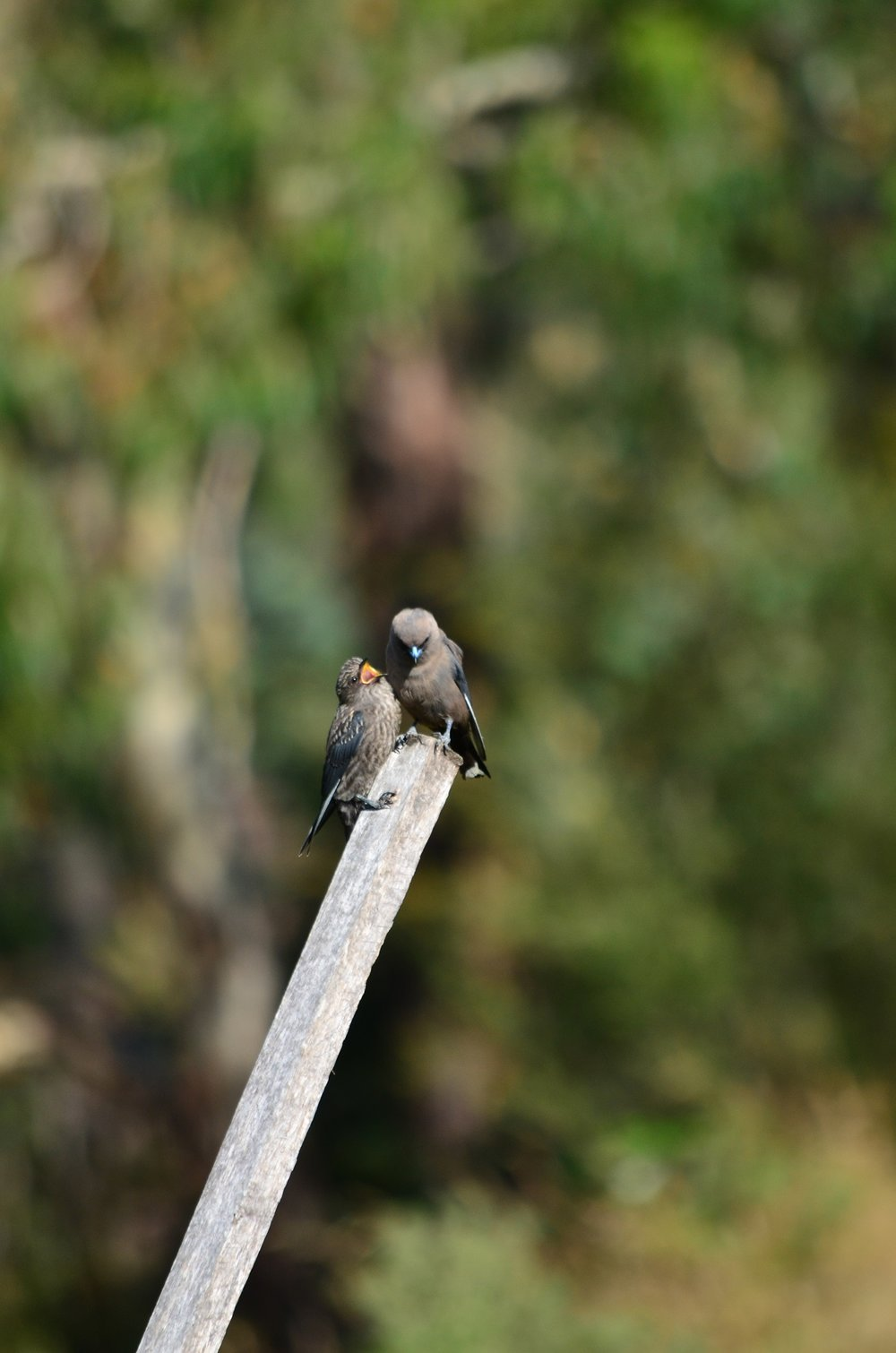 Interactions between birds can be easily missed when you don't pay attention, such as that between this adult and juvenile dusky wood swallow.  Image: Sarah Bond