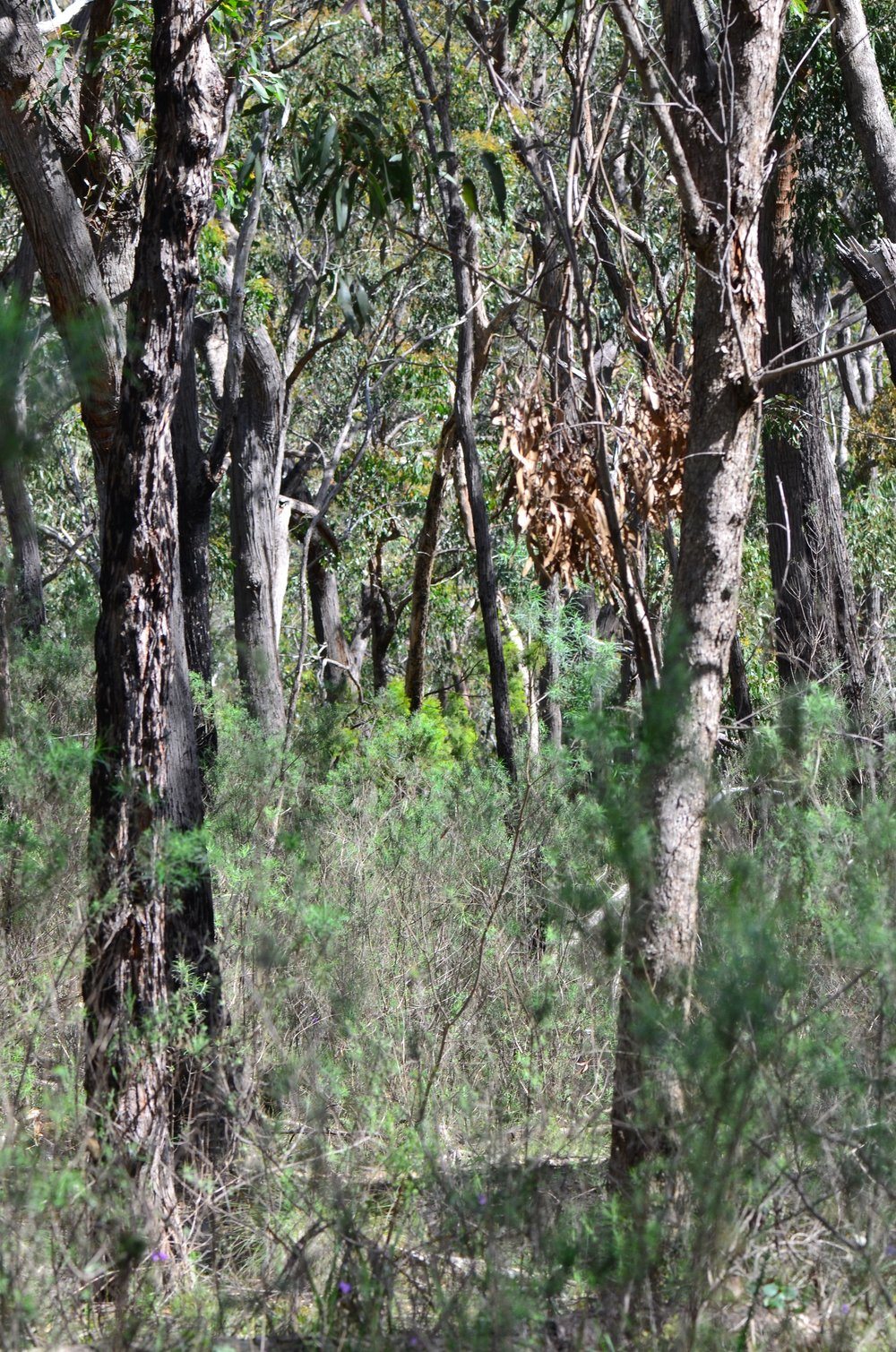 Dense dry forest at Fourth Hill, Warrandyte.  Image: Sarah Bond