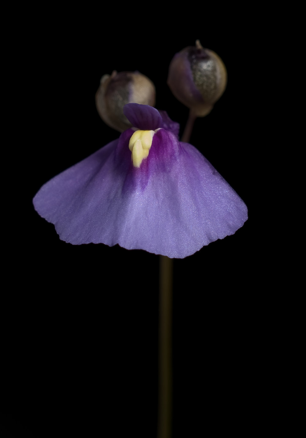 A vibrantly coloured fairy apron ( Utricularia dichotoma ).
