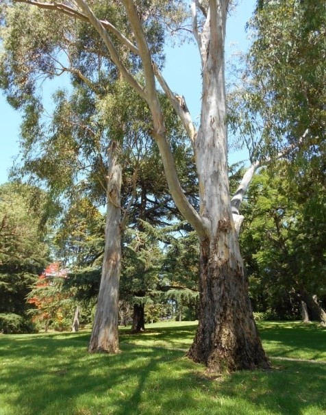 Impressive eucalypts dominate the lawns of Kings Domain.  Image: Bruna Costa