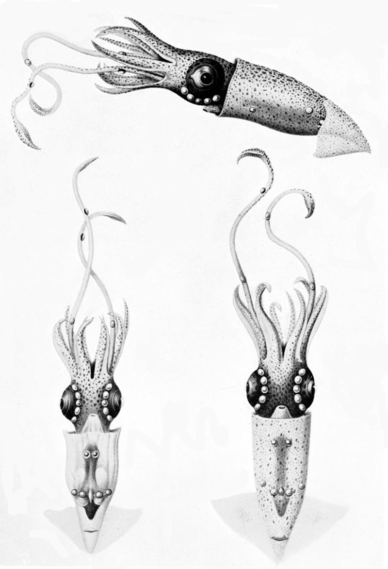 An artist's impression of the luminiscent firefly squid  (Lycoteuthis lorigera ).  Image: Wikimedia Commons