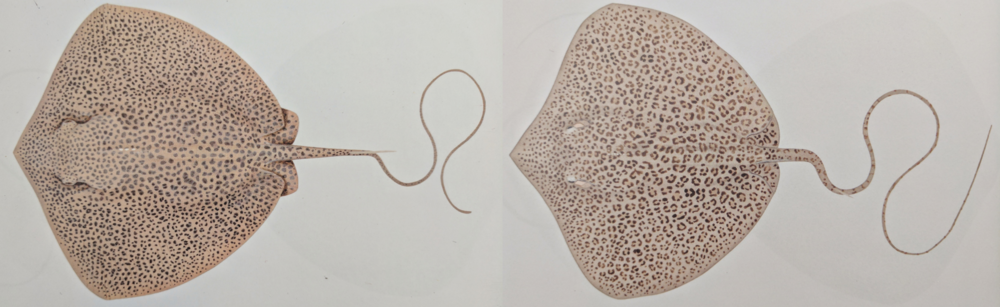 Note the subtle differences in form, pattern and colouration in the leopard whipray (left) versus the coach whipray (right). Image: Lindsay Marshall, as seen in Rays of the World (2016), CSIRO Publishing.