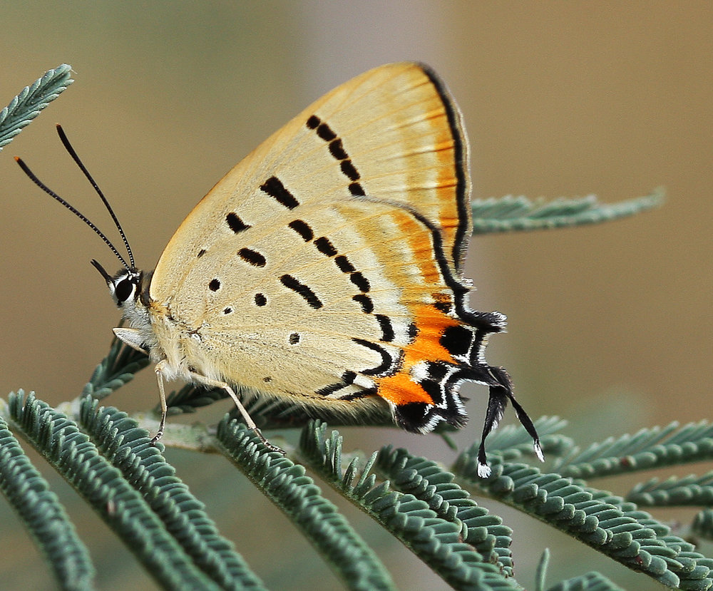 Imperial blue butterfly  - Ants form a mutualistic relationship with the caterpillar of this species. They protect the caterpillars from predators and in return feed on the surgery substance which exudes from the caterpillar.  Image: Michael Smith
