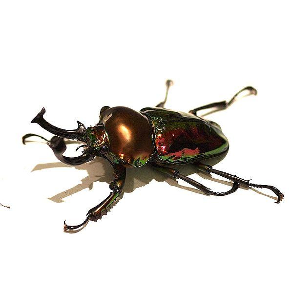 Rainbow stag beetle ( Phalacrognathus muelleri ). Image: Wikimedia Commons