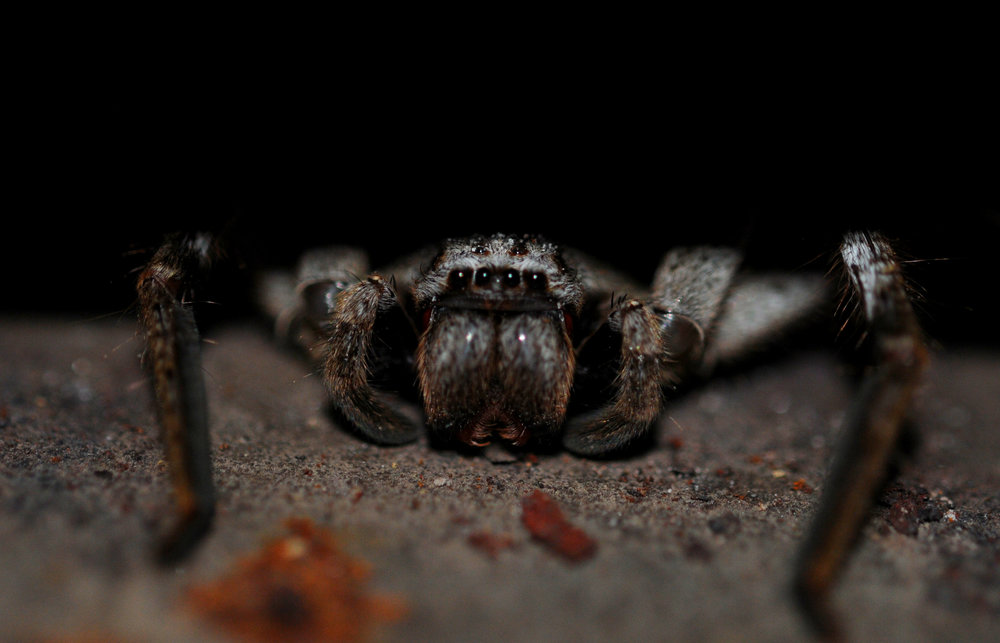 A huntsman waits for nightfall.  Image: Chris McCormack