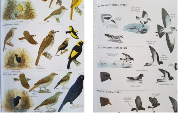 Lovely illustrated behaviour notes give the birder more to look for than just plumage.
