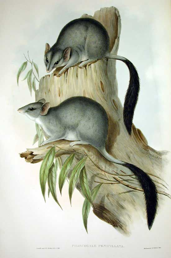 An 1863 illustration of the brush-tailed phascogale.  Image: John Gould / Wikimedia Commons