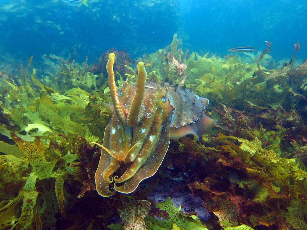 The kelp forests of the Great Southern Reef serve as habitat and breeding grounds for many endemic (and fascinating) marine species. Credit: Scott Bennett, www.exploretheseafloor.net.au