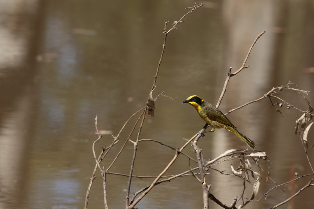 Species that feed on nectar, such as the yellow-tufted honeyeater, may capitalise on winter-flowering eucalypts in northern and central Victoria during the cooler months of the year.