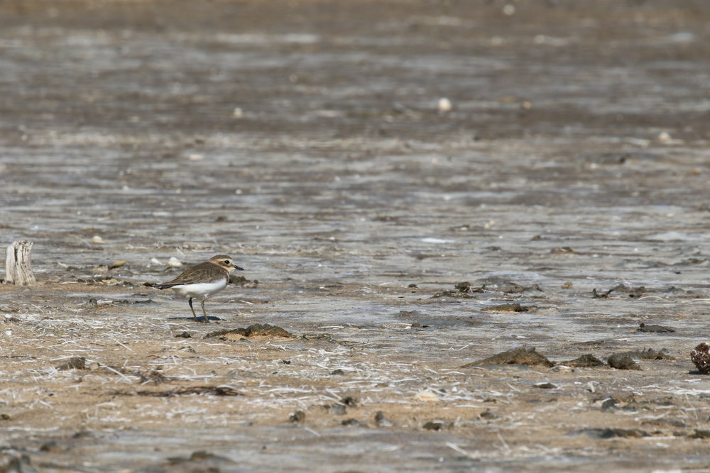 Keep a look out on Victoria's shores this winter. Amongst the resident red-capped plovers, you might be able to spot a slightly larger double-banded plover as it spends the winter here after breeding in New Zealand during the summer.