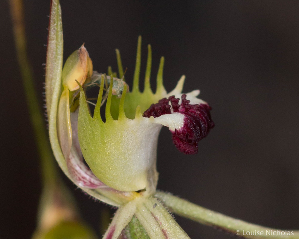 An insect in a spider orchid.
