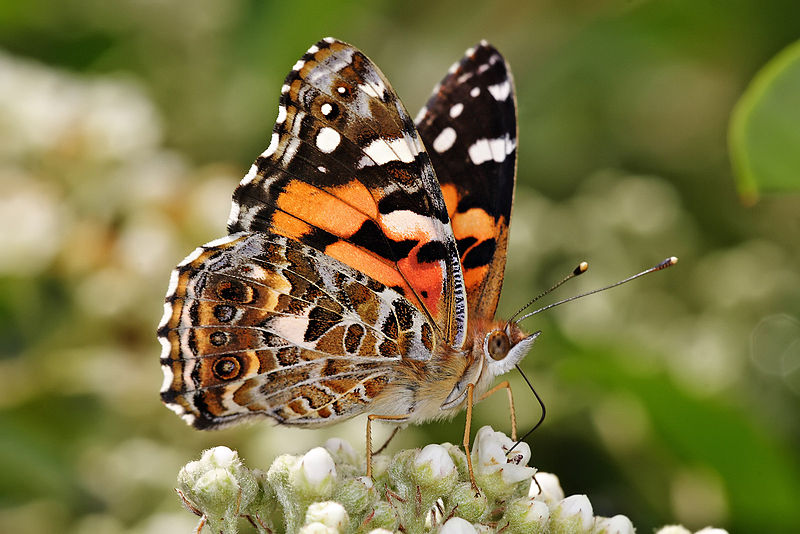 Native butterfly (Painted Lady). Image: Wiki Commons