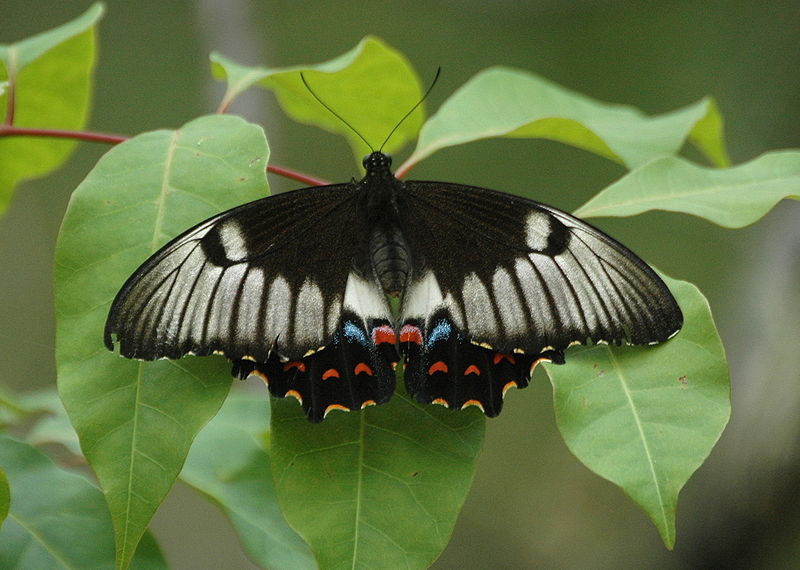 Orchard Swallowtail. Image: Wiki Commons