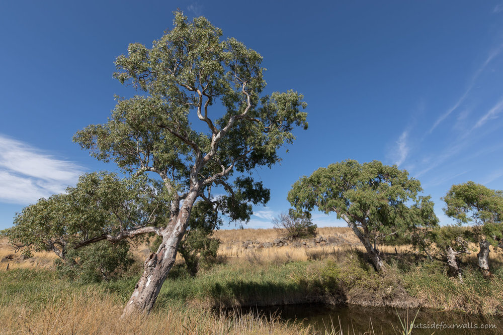 The remnant River Red Gums attract parrots and birds of prey, and bees have taken up residence in the stump of a dead tree. Every tree is used to its full capacity here!  Image: Louise Nicholas