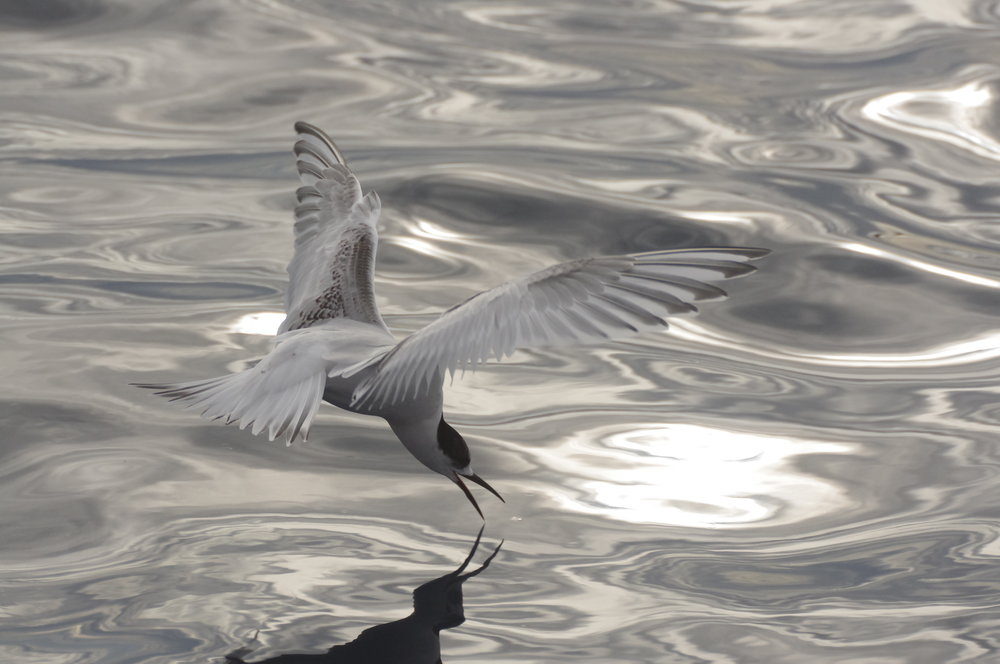 Terns, such as this young white-fronted tern, fly above most of the seabird congregation at the back of the boat. They use this vantage point to spot tidbits floating on the water's surface. They elegantly swoop down to pick them from the surface. Image: Rowan Mott