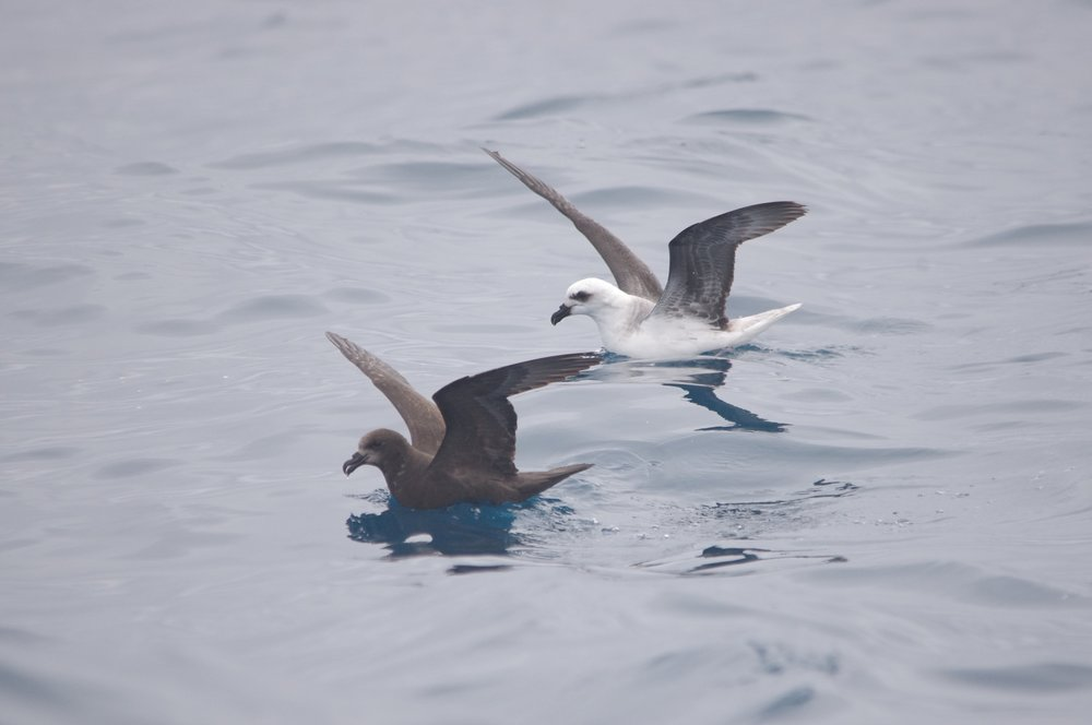 Petrels of many species are a common sight at the back of the boat. Here, a grey-face petrel (near) and white-headed petrel (far) mirror each other's movements. Image: Cathy Cavallo