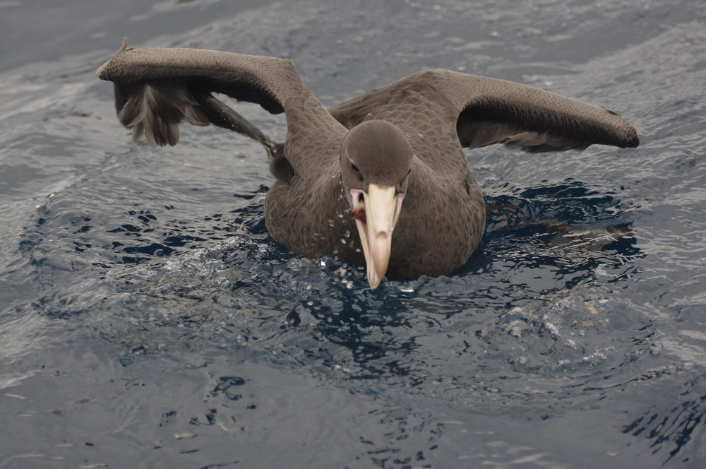 Giant petrels are the vultures of the sea. Here, a northern giant petrel shows the gluttonous character typical of the species as it gobbles down a piece of berley. Image: Rowan Mott