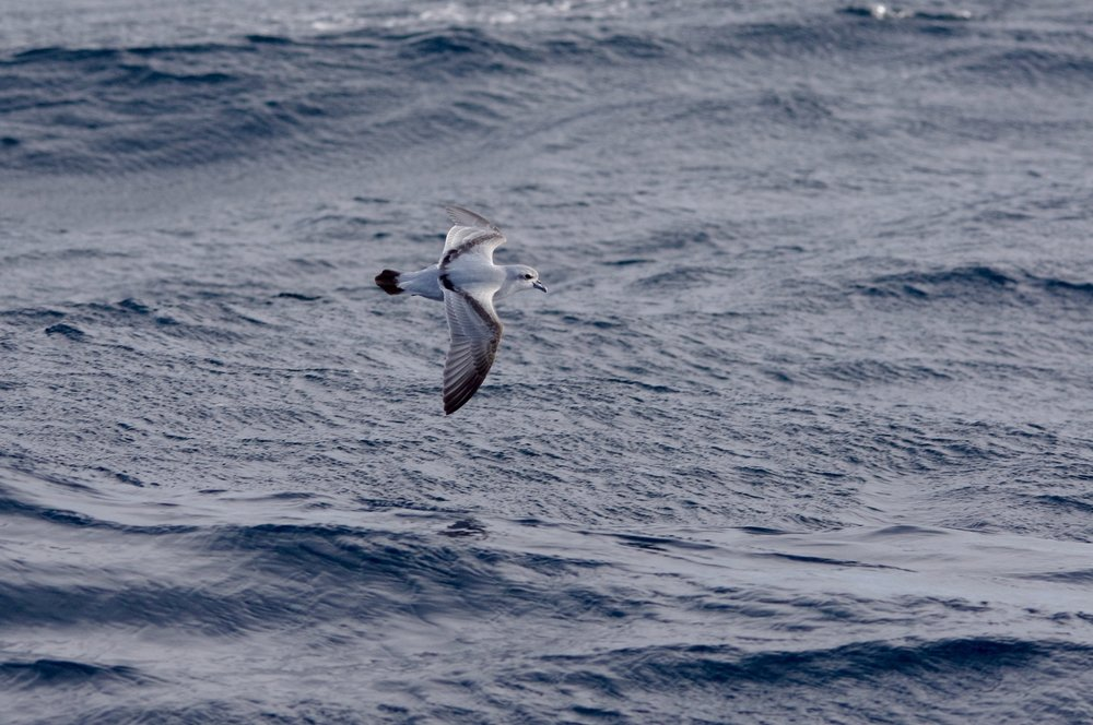 Fairy prions may be one of the most common species on a Victorian pelagic. If, like us, you don't want to put your seabird naivety on show, make sure you pronounce their name to rhyme with iron, not neon. Image: Cathy Cavallo