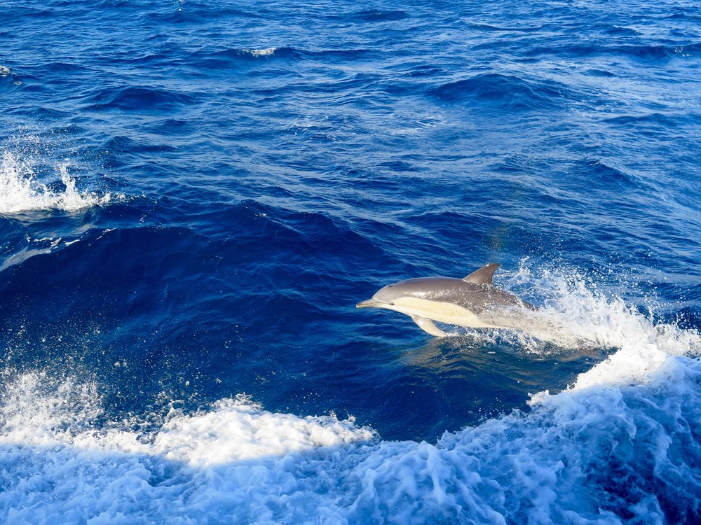 While travelling from port out to deeper water, common dolphins may join the boat for a spot of playful bow-riding. Image: Cathy Cavallo