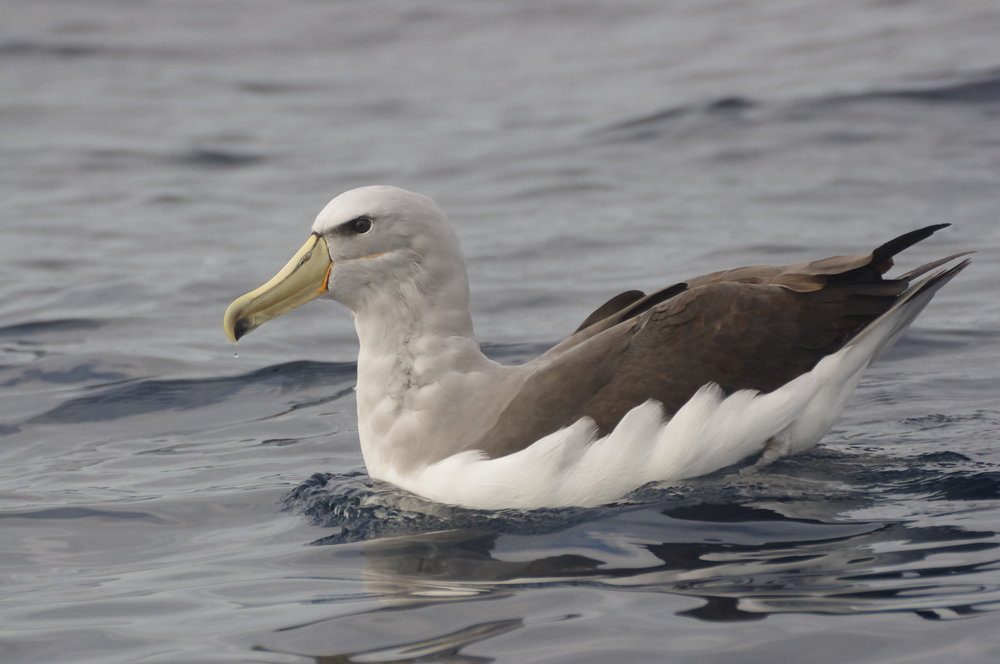 Experienced pelagic participants are only too happy to share their knowledge and point out the species you're seeing. You'll know if they spot an exceptional rarity, such as this Salvin's albatross, by the loud whoops and maybe even an expletive when it's spotted! Image: Rowan Mott