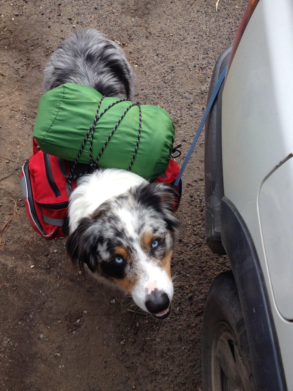 Loki the Australian Shepherd ready for adventure.