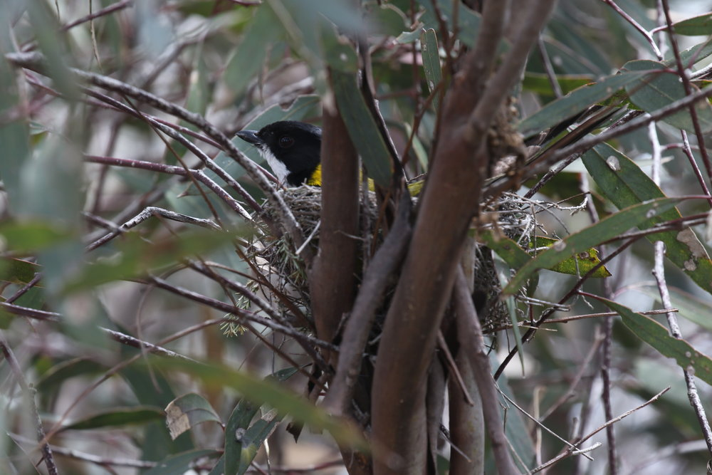Spring is the peak period of breeding activity for many of Victoria's birds, such as this male golden whistler. Image: Rowan Mott