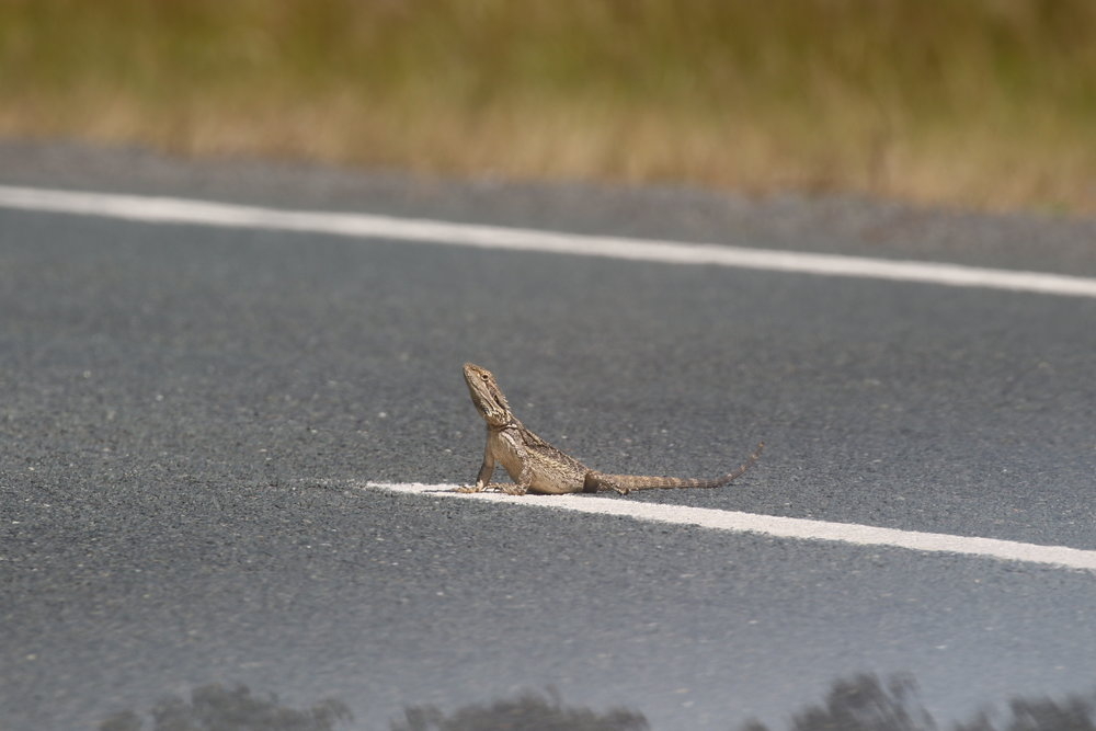 Depending on where you are in the state, bearded dragons (an eastern bearded dragon is pictured here), blue-tongues, elapid snakes, and shinglebacks may be particularly prone to being roadkill victims in your region. Image: Rowan Mott