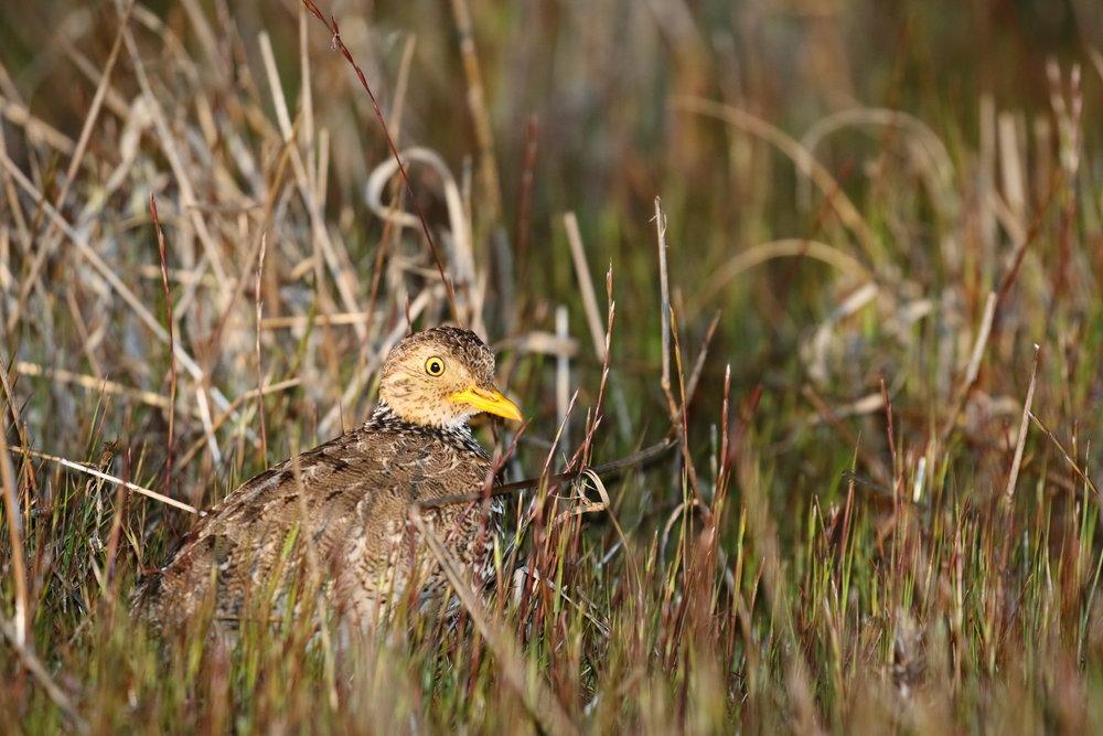 A female plains-wanderer photographed in her grassland habitat.Image: Rowan Mott