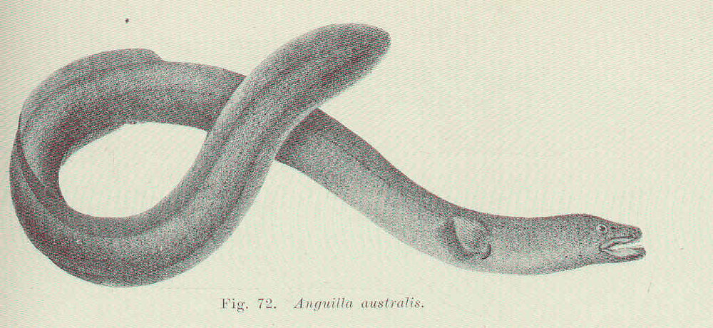 The short-finned eel   ( Anguilla australis ) was one of the species observed during the survey.  Image: Edgar R. Waite,  Illustrated Catalogue of the Fishes of South Australia .