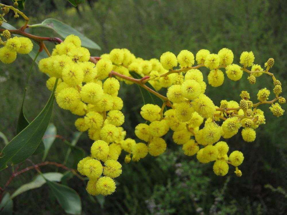 Golden wattle ( Acacia pycnantha ). Image: Kristen Cook