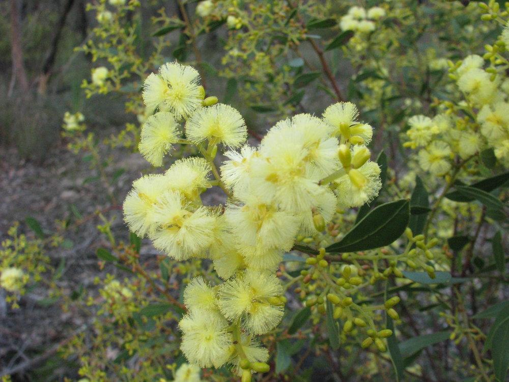 Myrtle wattle ( Acacia myrtifolia ). Image: Wendy Cook