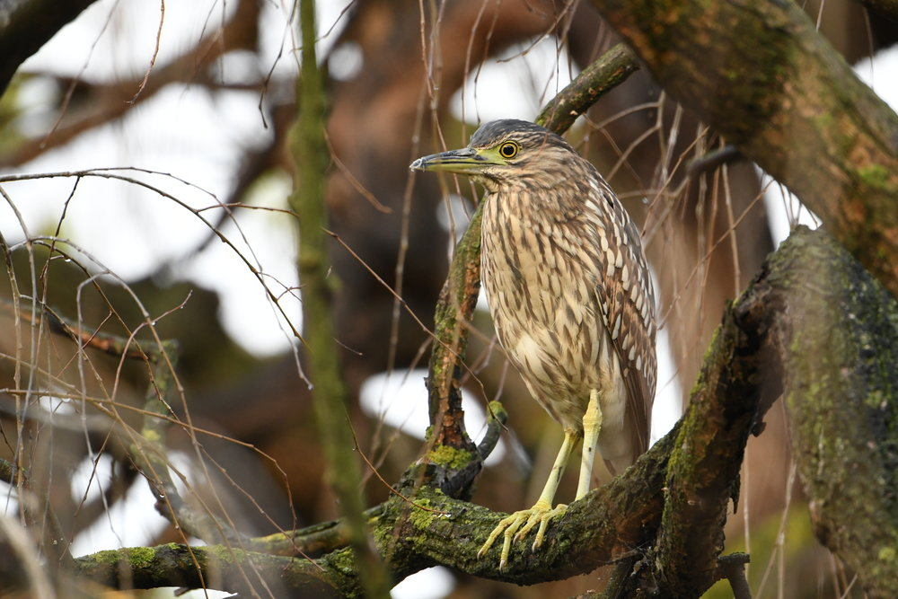An immature nankeen night heron roosting in an unusually open situation.