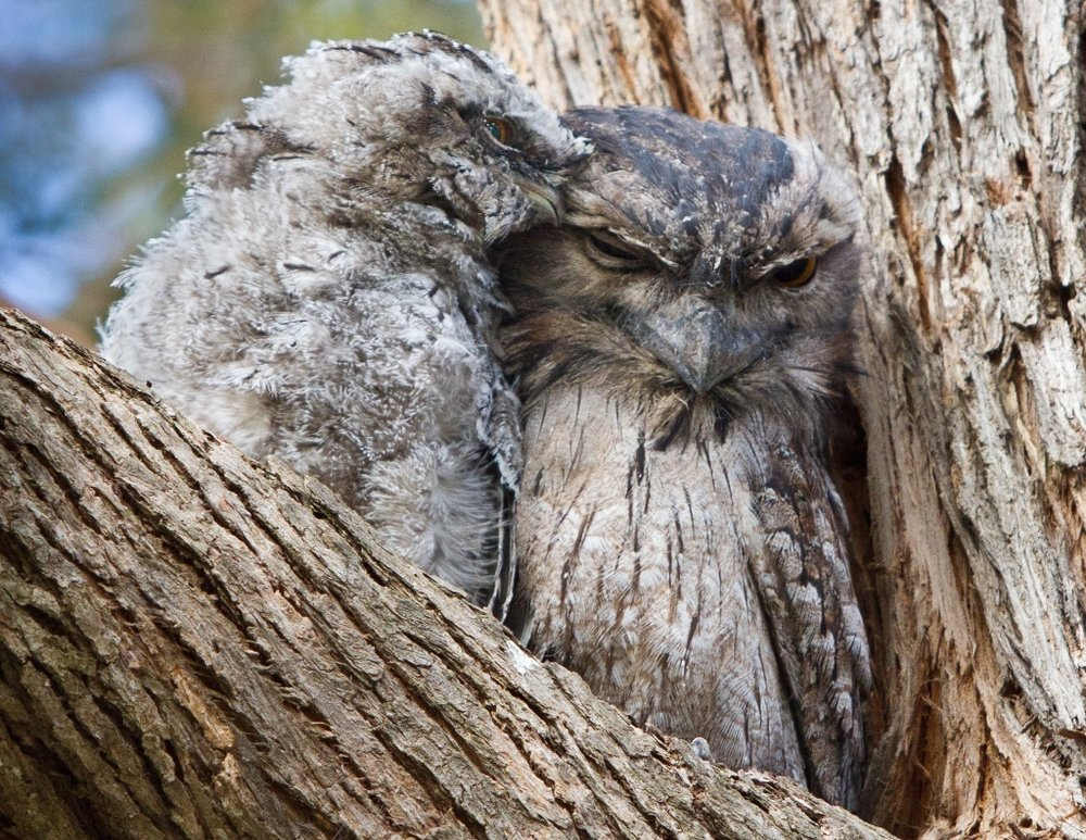 A tawny frogmouth youngster cuddling with its parent.  Image: Nalini Scarfe
