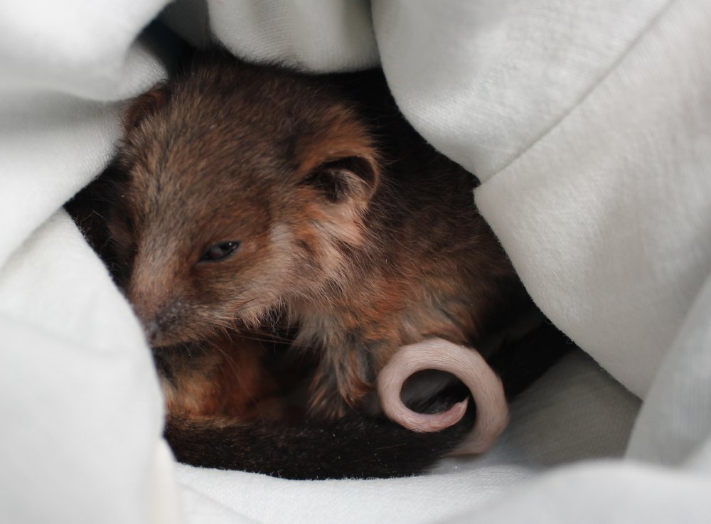 A ringtail possum joey. Image: Elodie Camprasse