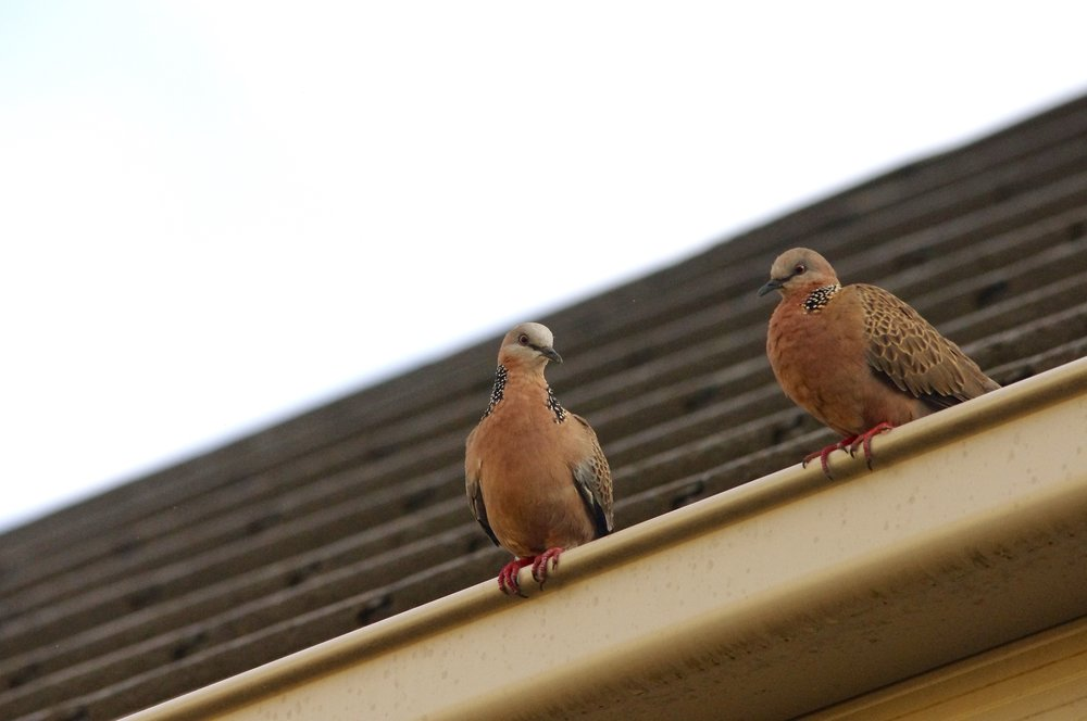 Spotted doves. The fact that they are an introduced species does nothing to diminish the pleasure spent watching them.