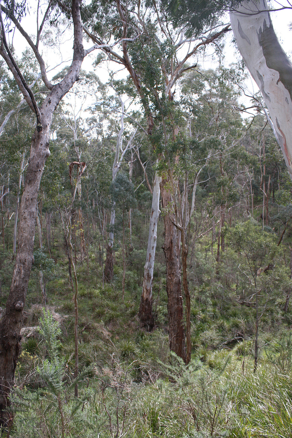 A range of eucalypts on the same slope.  Image: Michael Smith