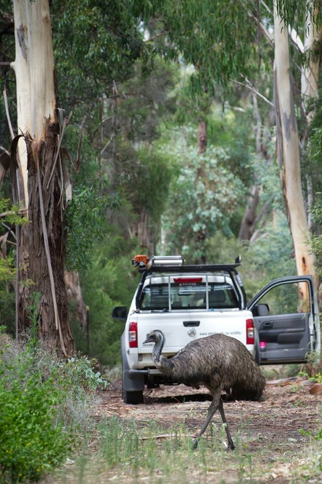 The resident emu assists the land management team with their daily duties.  Image:   Matthew Sherman (La Trobe Wildlife Sanctuary)