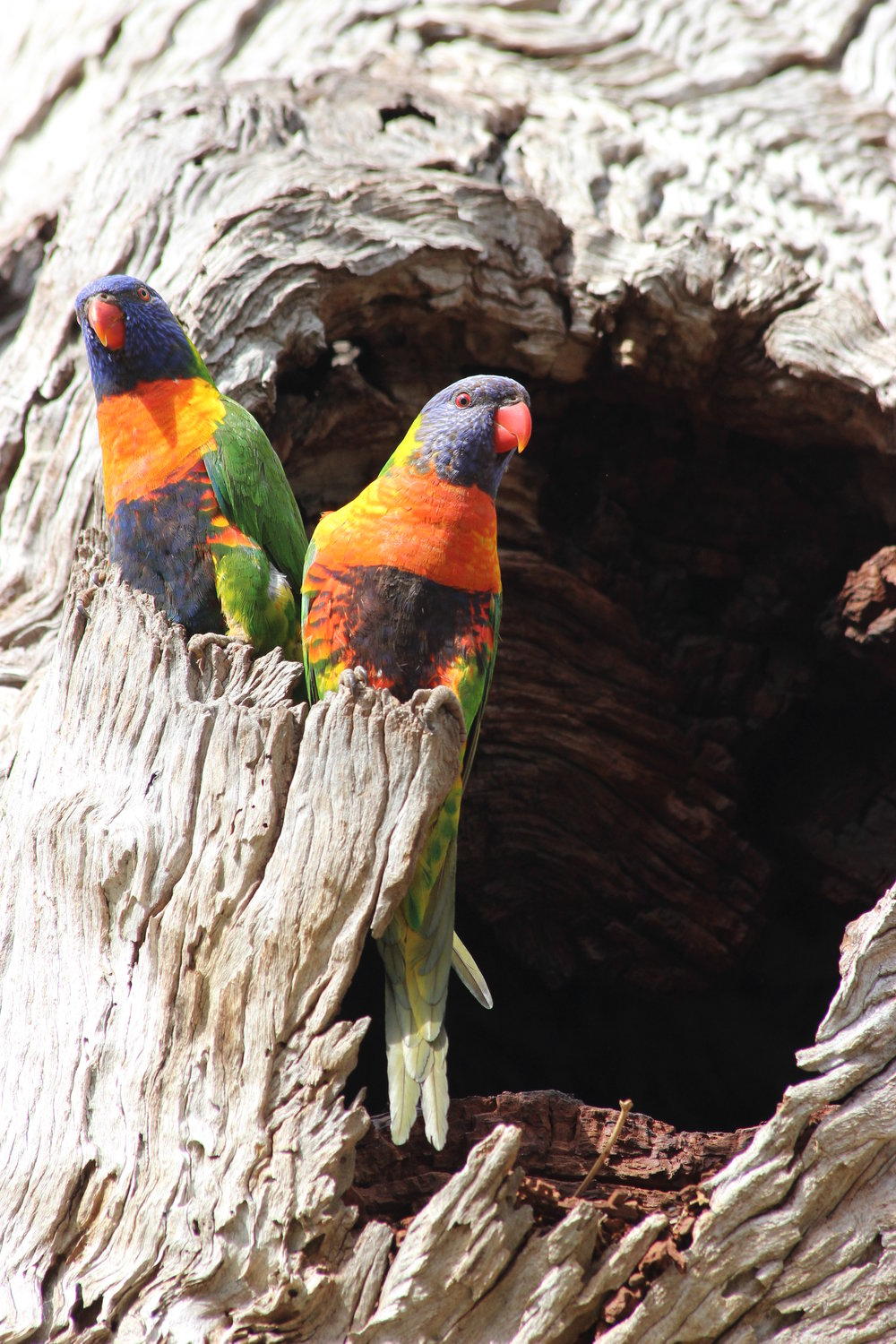 A pair of Rainbow Lorikeets utilising a tree hollow in the Sanctuary.  Image:   Michael Cincotta (La Trobe Wildlife Sanctuary)
